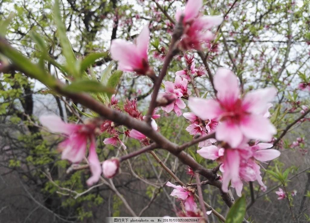 杏花 摄影 自然 花 风景 摄影 生物世界 花草 72dpi jpg