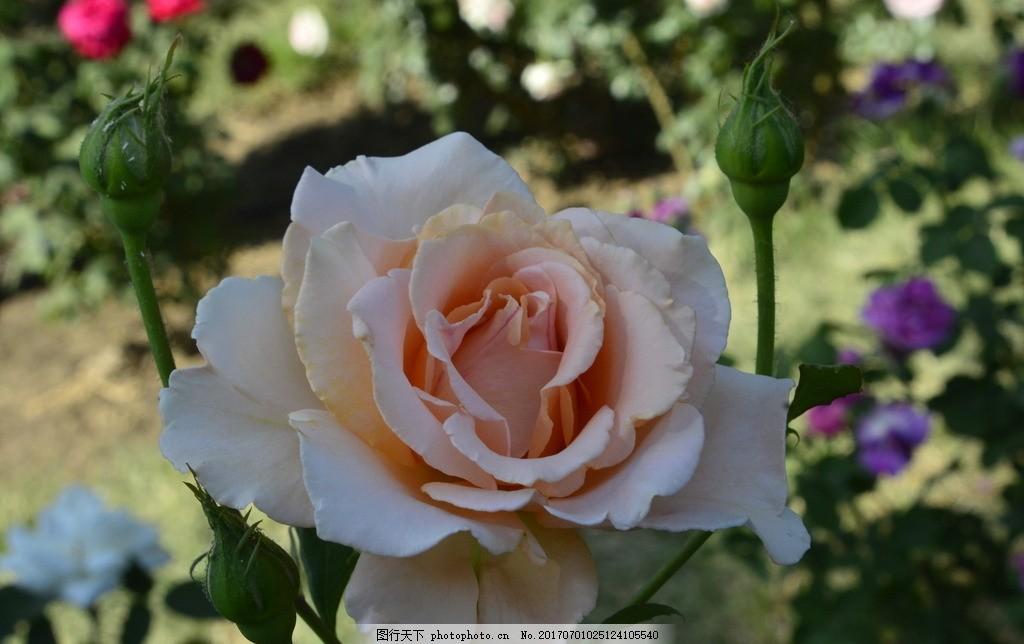 月季花 月季 花骨朵 花卉 植物 园林绿化 绿化景观 花草 蔷薇 玫瑰