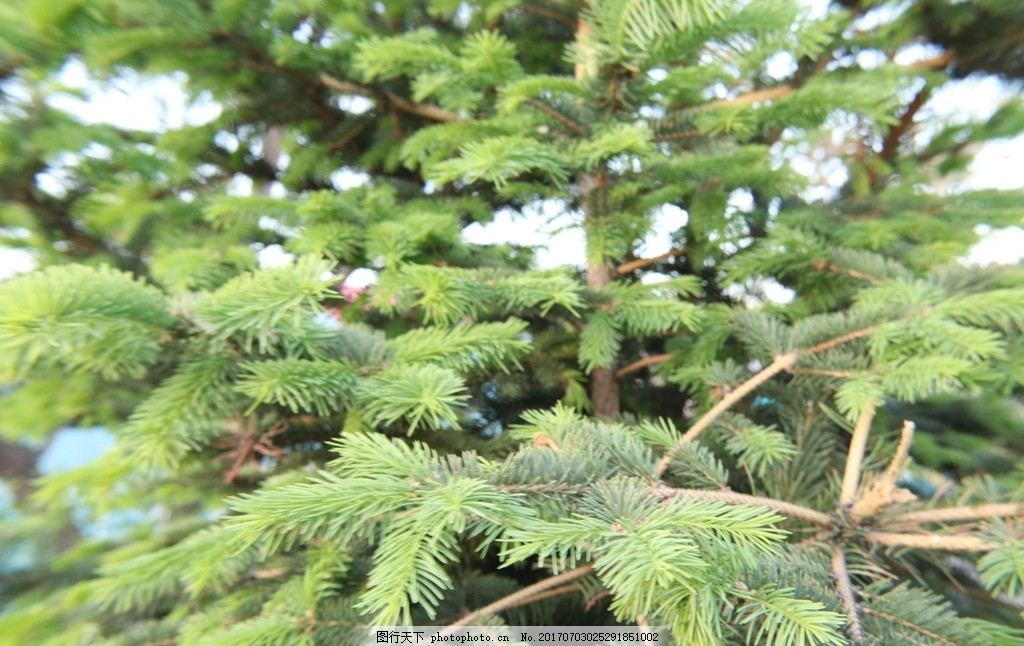 松树 松树林 松树塔 绿色 绿植 17年摄影学习作品 摄影 生物世界 树木