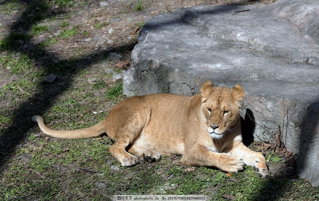 动物 野生动物 动物园 非洲狮 母狮 非洲母狮 狮子 动物 植物 摄影