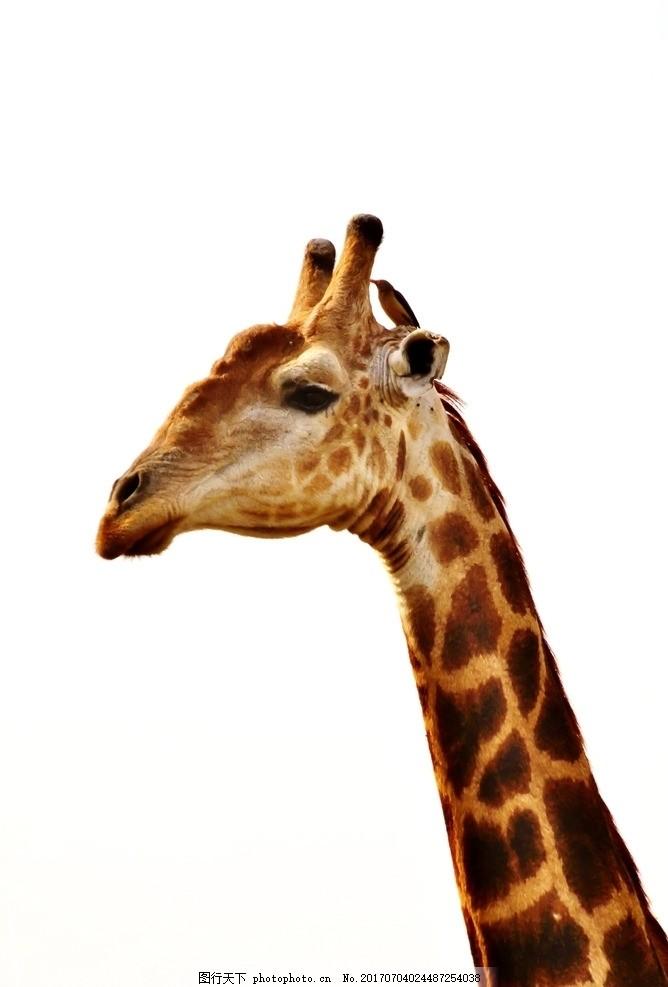 生物世界 摄影 动物 素材 白色 黄色 长颈鹿      脖子 摄影 生物世界