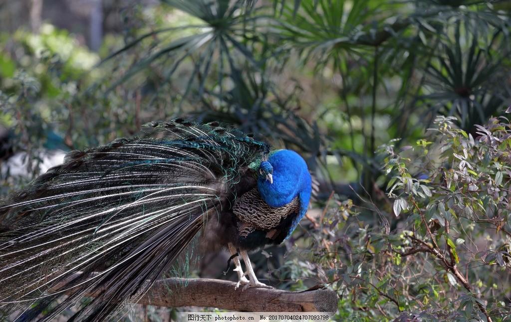 蓝孔雀 动物 野生动物 动物园 飞禽 整理羽毛 植物 摄影