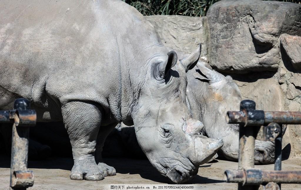 犀牛 动物 动物园 独角 皮厚 凶猛 植物 摄影