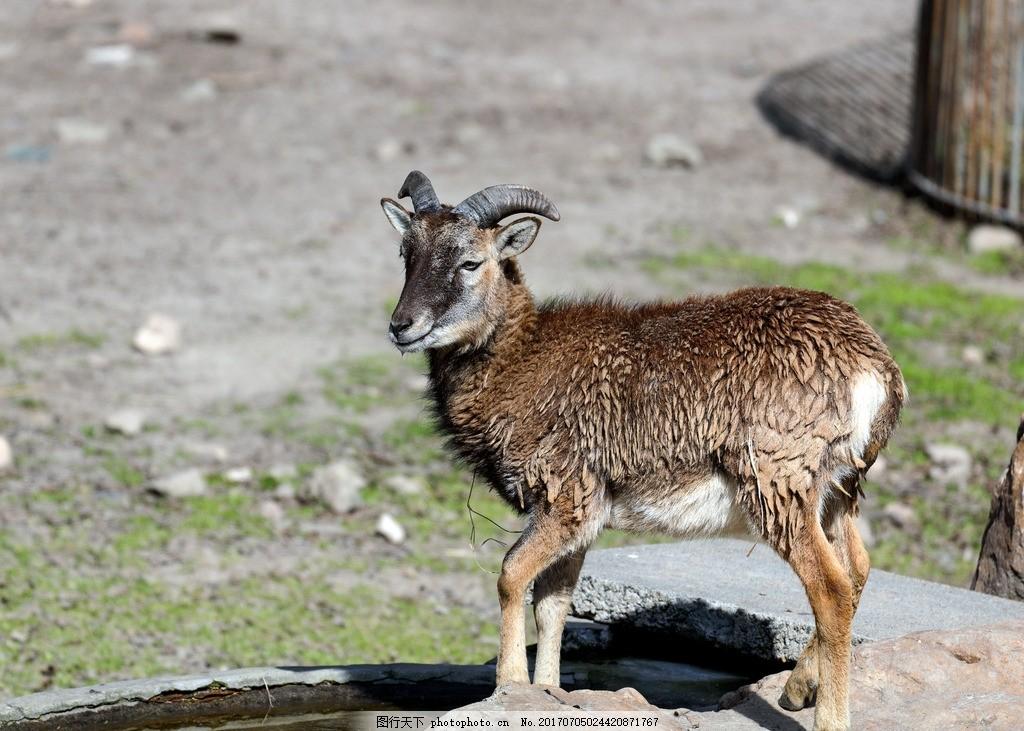 塔尔羊幼羊 塔尔羊 幼羊 小羊 长毛羊 动物 野生动物 动物园 摄影