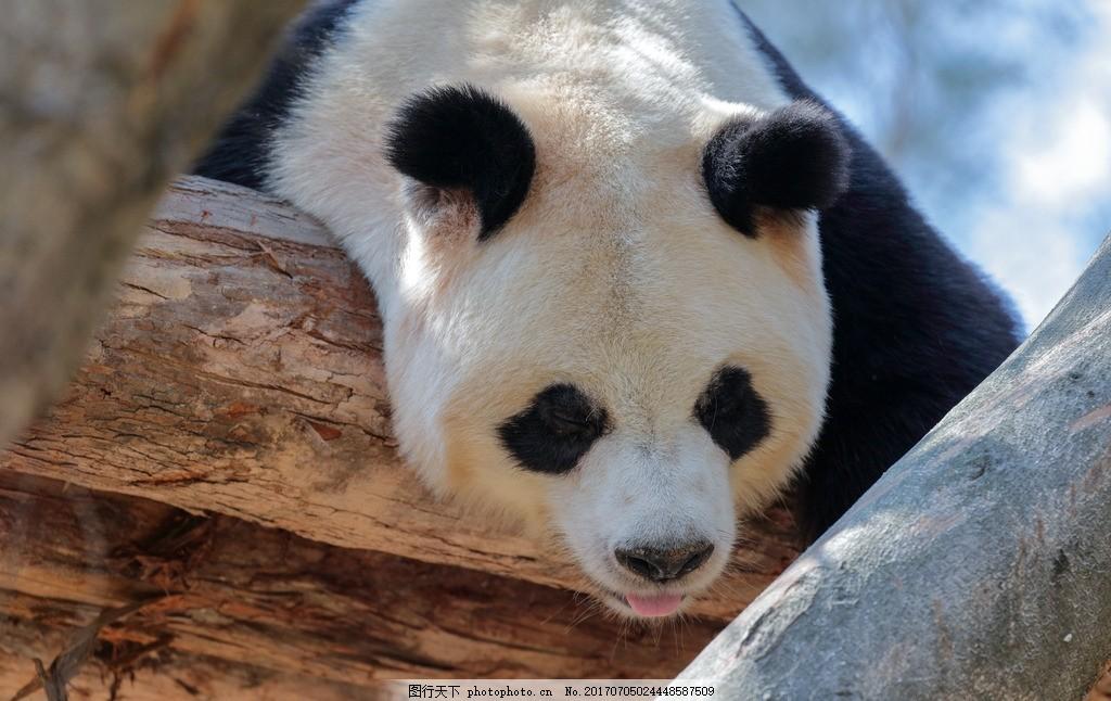 动物 野生动物 动物园 大熊猫 爬着睡觉 可爱 国宝 保护动物 哺乳动物