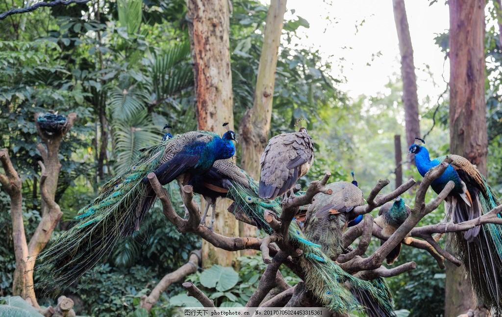 蓝孔雀 动物 动物园 蹲在树枝上 飞禽 鸟类 鸟儿 摄影