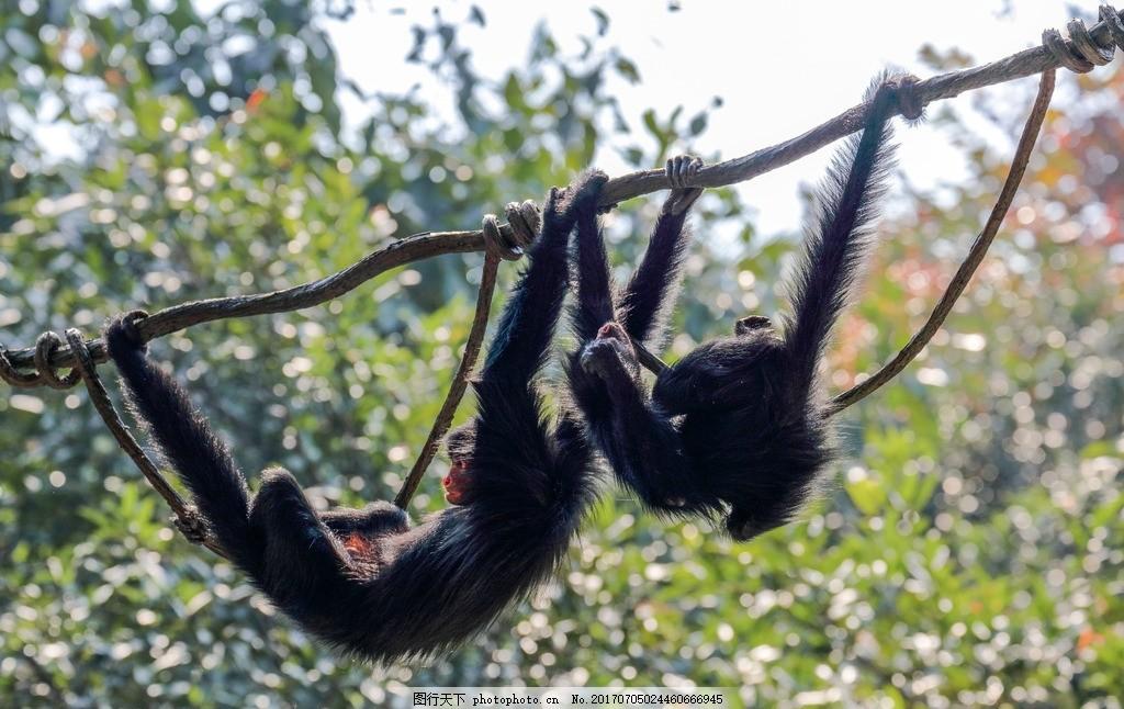 黑蜘蛛猴 阔鼻猴 灵长目 灵长动物 动物园 猴子 黑猴 摄影