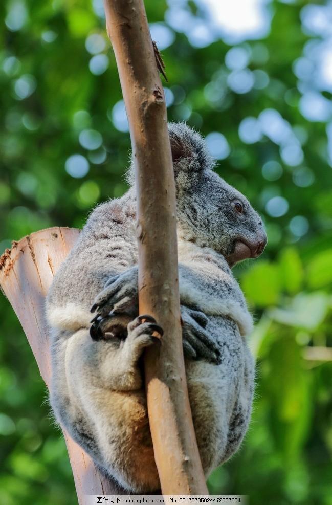 考拉 动物 动物园 无尾熊 可拉熊 树懒熊 爬树 灰色 澳大利亚国宝