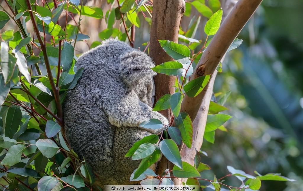 考拉 动物 野生动物 动物园 无尾熊 可拉熊 树懒熊 爬树 灰色