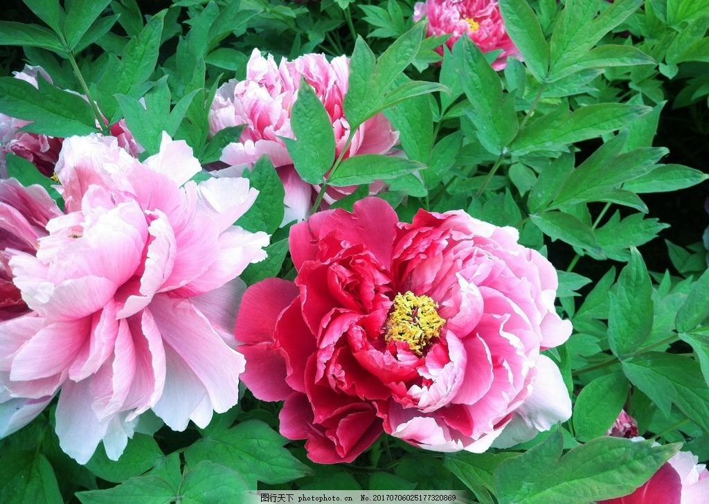 牡丹 牡丹花 国花 花卉 鲜花 花朵 富贵牡丹 牡丹摄影 自然风景