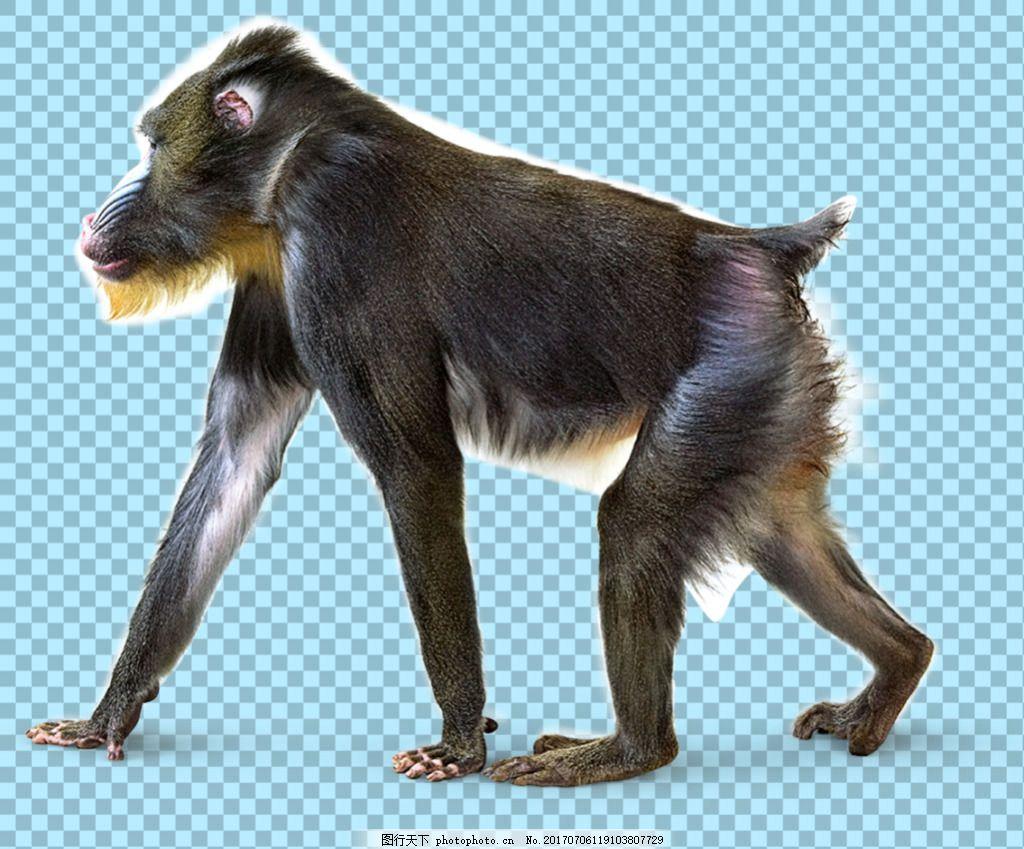 正在走路的猴子免抠png透明图层素材 野兽 可爱动物图片 家禽 家畜