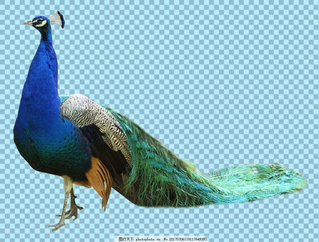 漂亮孔雀免抠png透明图层素材 鸟类动物 可爱动物图片 家禽 家畜 动物