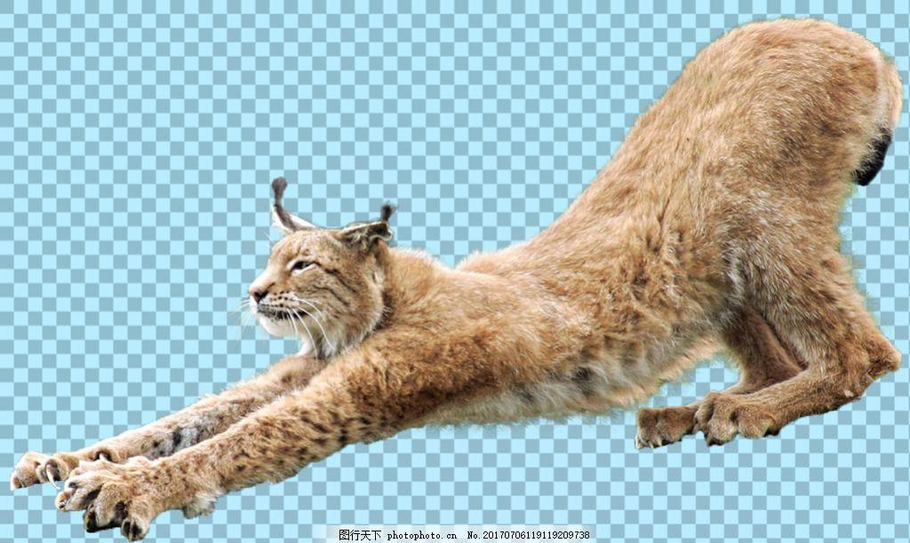 伸懒腰的猞猁免抠png透明图层素材 野兽 可爱动物图片 家禽 家畜