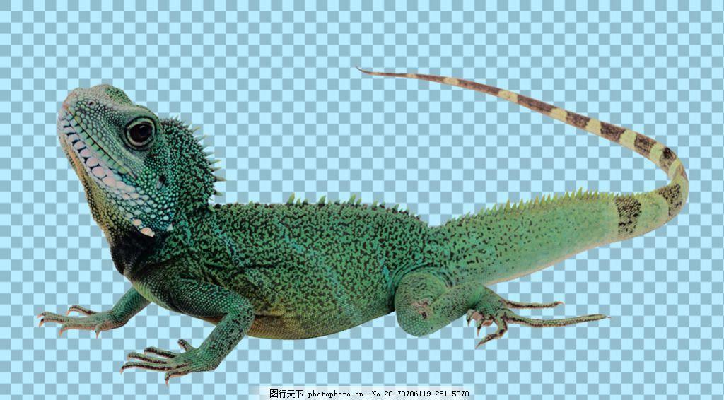 抬头仰望的蜥蜴免抠png透明图层素材 爬行动物 可爱动物图片 家禽