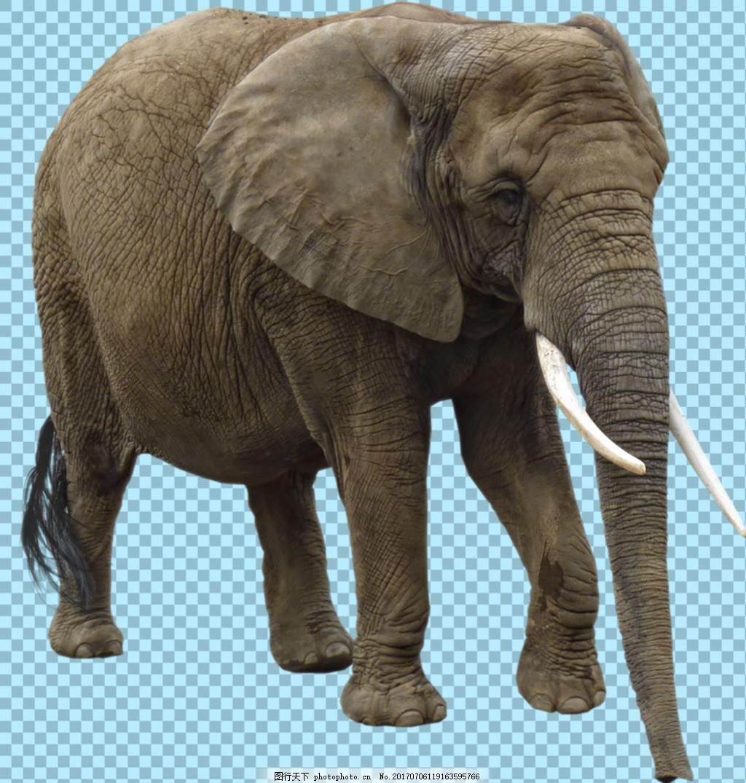 大耳朵的大象图片免抠png透明图层素材 野生动物 可爱动物图片 家禽