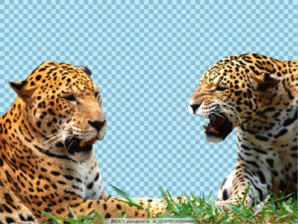 两只玩耍的美洲豹免抠png透明图层素材 猛兽 可爱动物图片 家禽 家畜