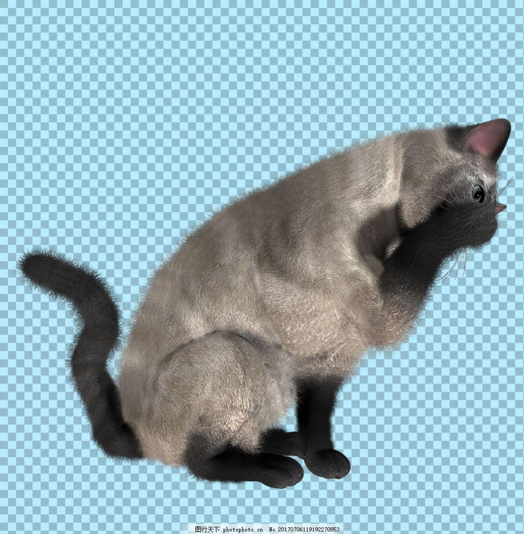 灰色小猫图片免抠png透明图层素材 猫科动物 可爱动物图片 家禽 家畜