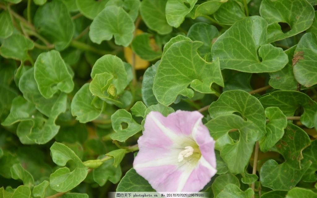 花卉 田旋花 小旋花 中国旋花 野牵牛 花冠漏斗形 粉红色 白色 野花