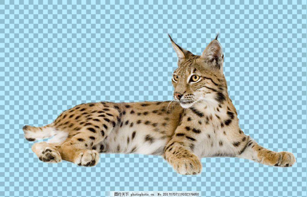 躺地上的猞猁免抠png透明图层素材 野兽 可爱动物图片 家禽 家畜 动物
