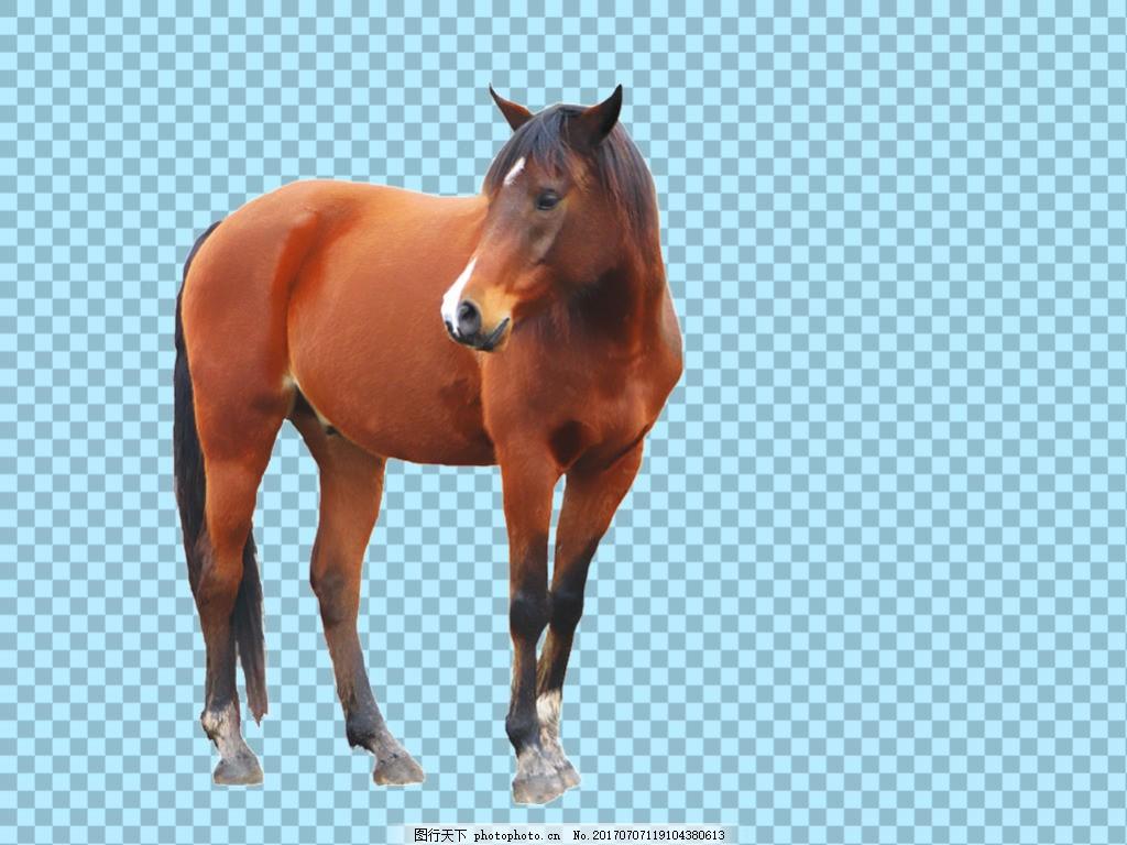 红棕色骏马马免抠png透明图层素材 家畜动物 可爱动物图片 家禽