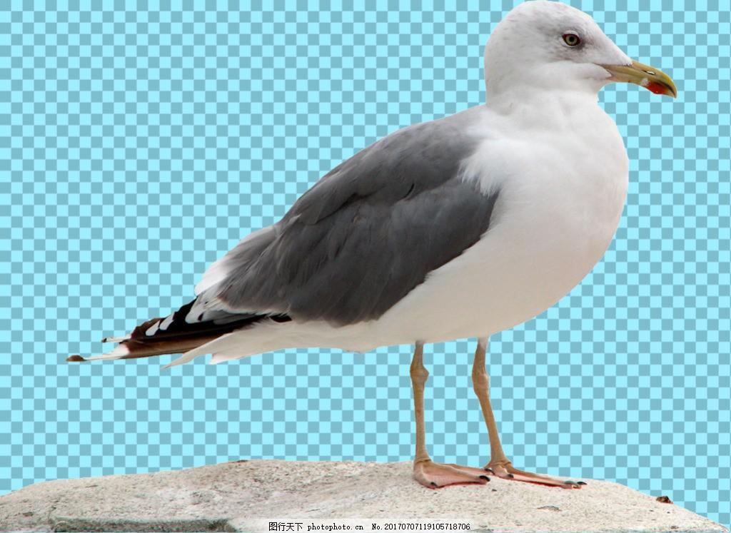 灰色翅膀海鸥免抠png透明图层素材 鸟类动物 可爱动物图片 家禽 家畜