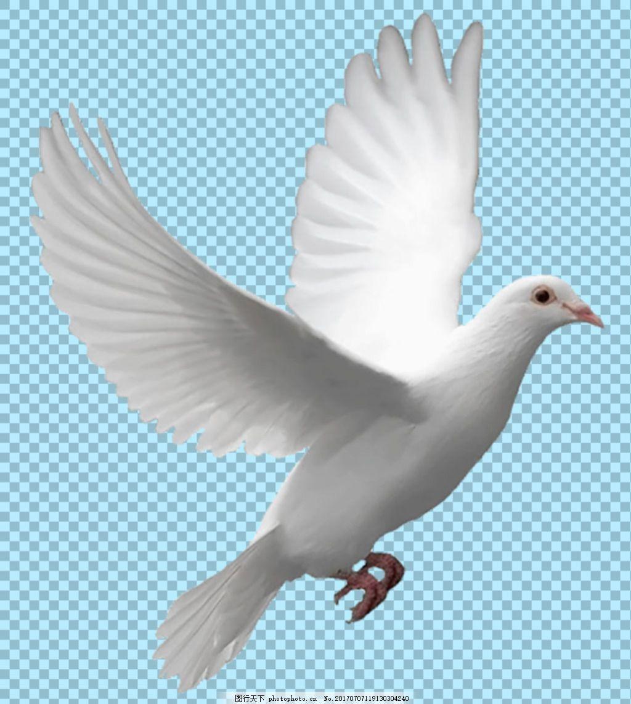 展翅高飞的鸽子免抠png透明图层素材 飞翔的鸽子 鸽子简笔画图片大全