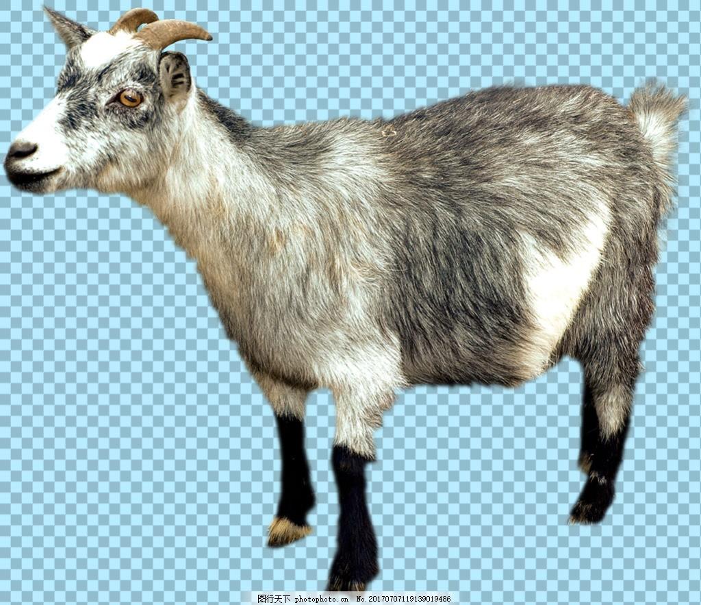 站着的杂毛山羊免抠png透明图层素材