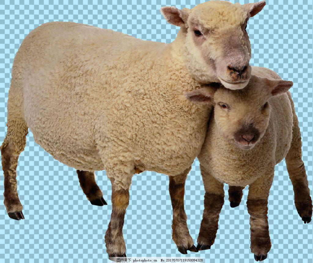 绵羊母子图片免抠png透明图层素材 动物图片大全 可爱动物图片