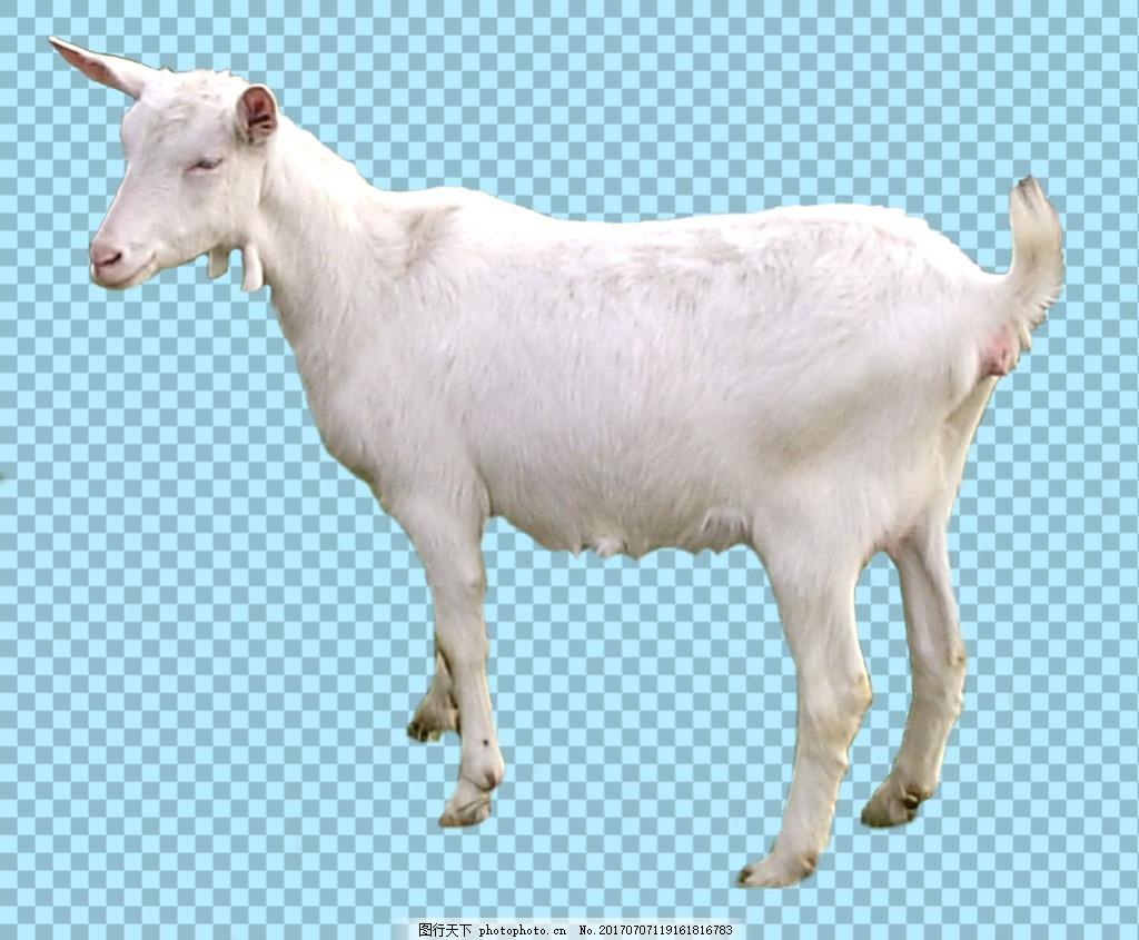 白色毛发的山羊免抠png透明图层素材 家畜动物 可爱动物图片 家禽