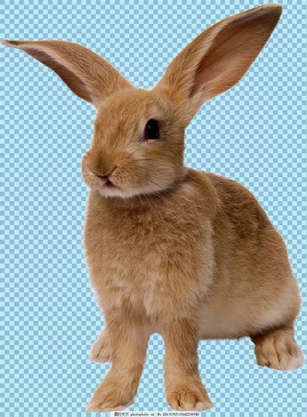 棕色毛发小兔子免抠png透明图层素材 家畜动物 可爱动物图片 家禽
