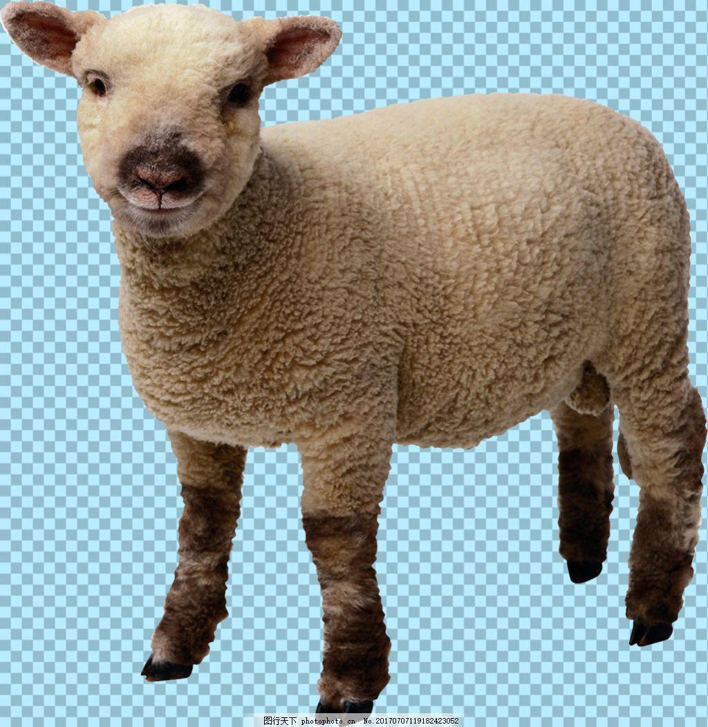 一只可爱的小绵羊免抠png透明图层素材 动物图片大全 可爱动物图片