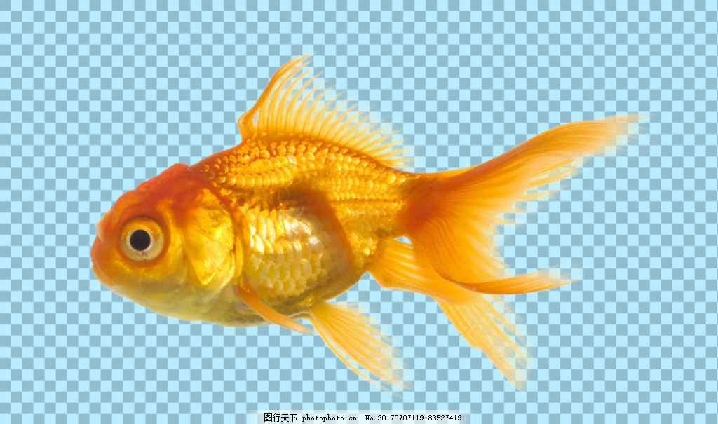 黄色金鱼图片免抠png透明图层素材 鱼类动物 可爱动物图片 家禽 家畜
