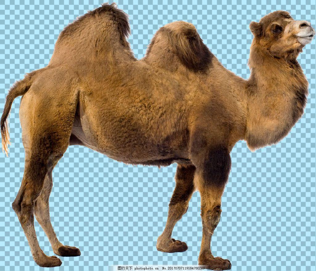 侧面双峰骆驼图片免抠png透明图层素材 鸟类动物 可爱动物图片