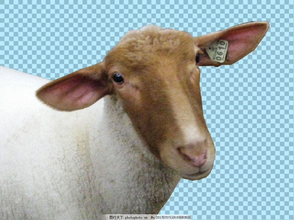温顺的绵羊免抠png透明图层素材 动物图片大全 可爱动物图片 家禽