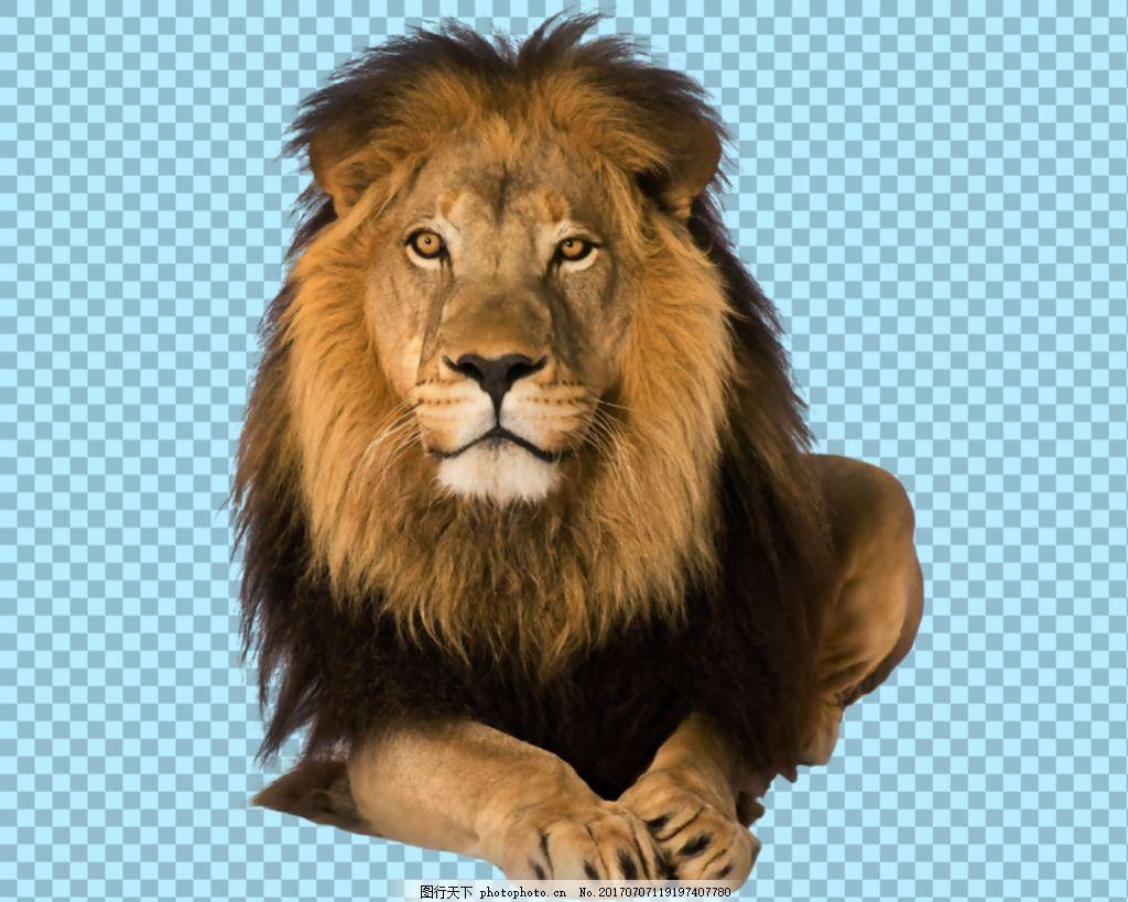 趴地上望的狮子免抠png透明图层素材 野生动物 可爱动物图片 家禽