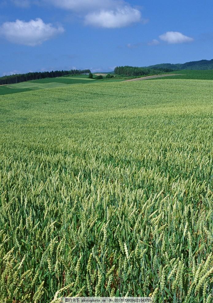 麦田 绿油油 绿色 户外 小麦 农作物 蓝天 乡村风采 摄影 自然景观 自