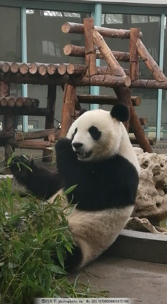 珍稀动物 稀有动物 一级保护动物 大熊猫 熊猫 动物园 动物 动物世界