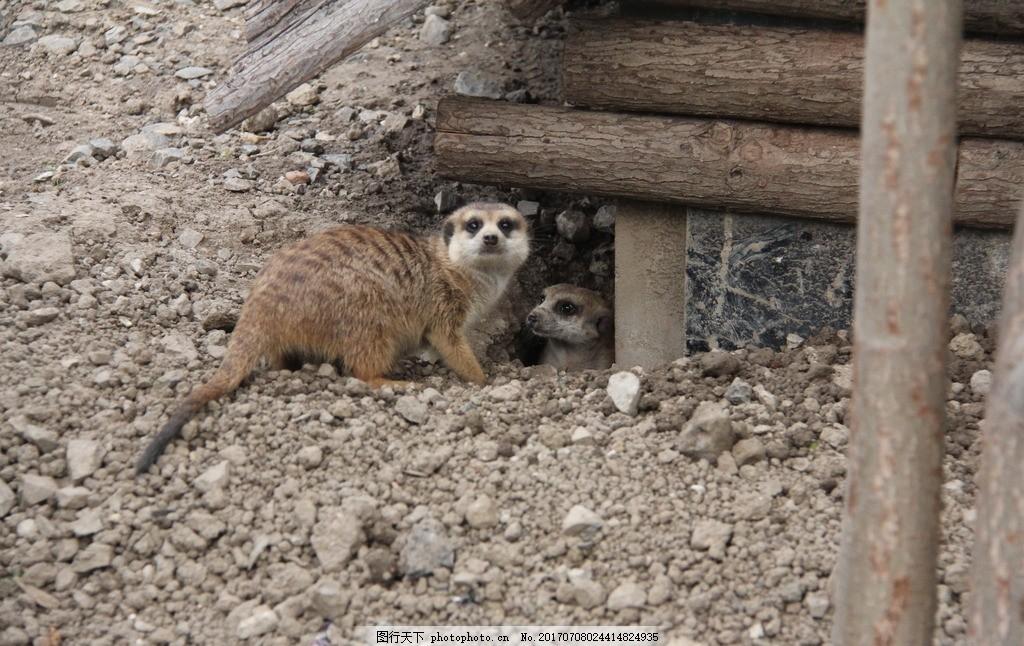浣熊 小浣熊 小动物 动物园 天津动物园 动物世界 摄影