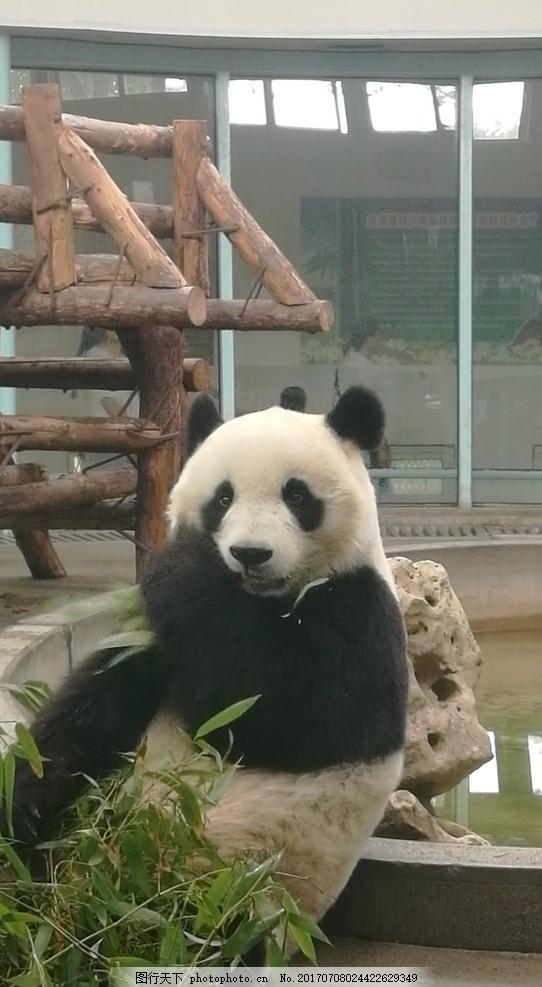 国宝熊猫 大熊猫 熊猫 国宝 国家保护 动物 可爱 超萌 憨憨的 动物