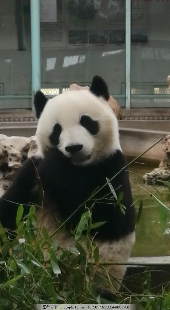 大熊猫 国家保护动物 保护动物 稀有动物 吃竹子 可爱至极 动物世界