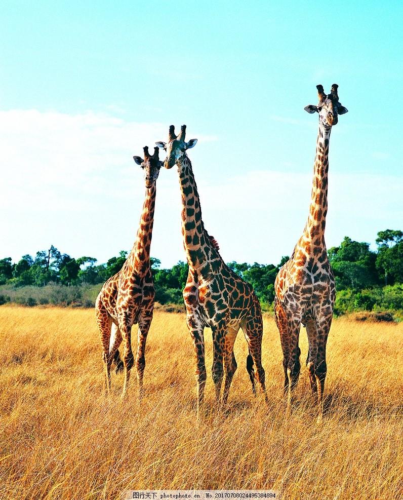 长颈鹿 野外 动物 天空 户外 摄影