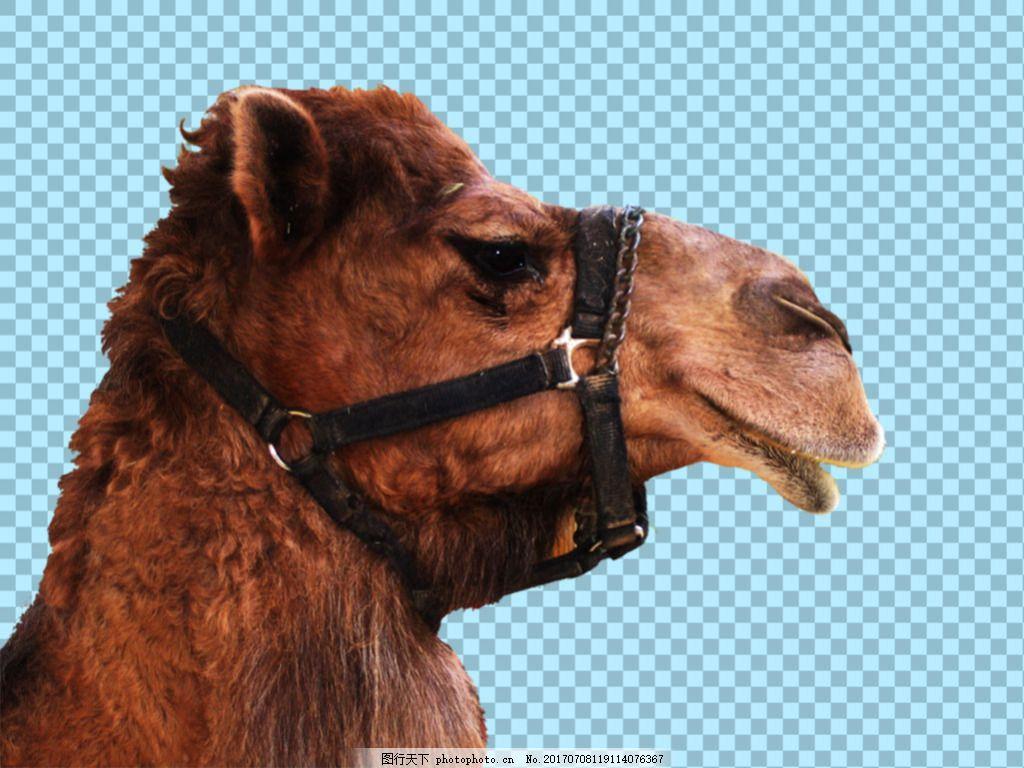 骆驼头部图片免抠png透明图层素材 沙漠动物 可爱动物图片 家禽