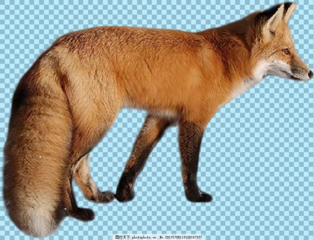 夹着尾巴的狐狸免抠png透明图层素材 野生动物 可爱动物图片 家禽