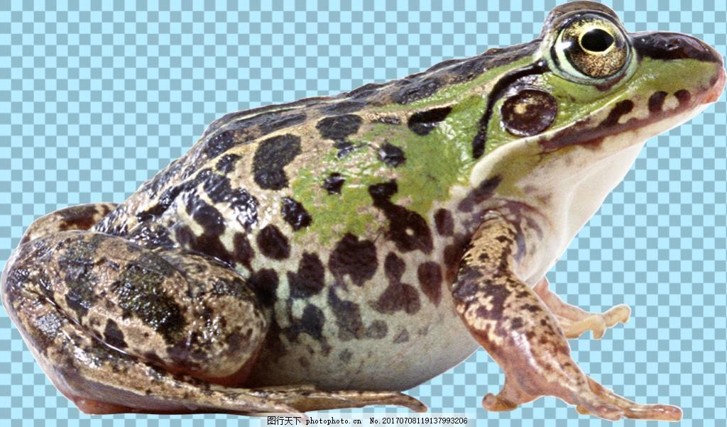黑点绿色皮肤青蛙免抠png透明图层素材 爬行动物 可爱动物图片