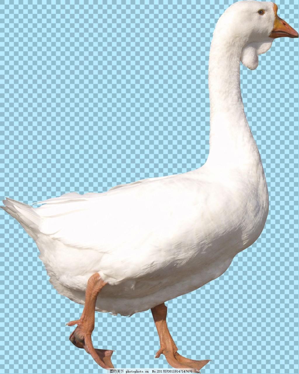 白色羽毛的鹅免抠png透明图层素材 鸟类动物 可爱动物图片 家禽 家畜