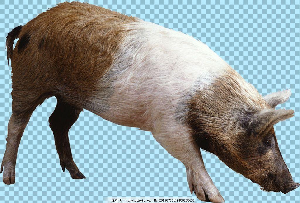 寻找食物的猪免抠png透明图层素材 家畜动物 可爱动物图片 家禽 家畜