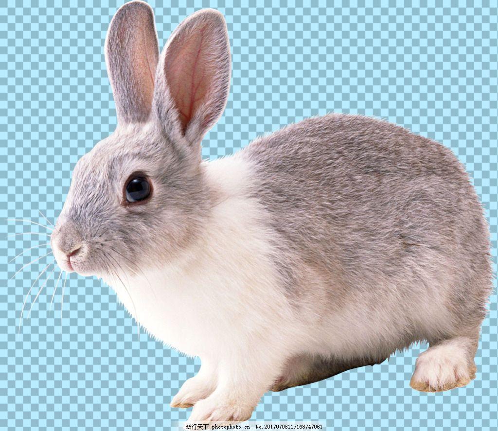 可爱小兔子免抠png透明图层素材,家畜动物 可爱动物