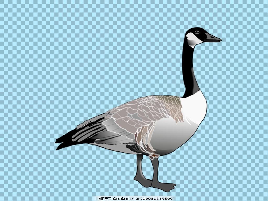 漂亮的野鸭免抠png透明图层素材 鸟类动物 可爱动物图片 家禽 家畜