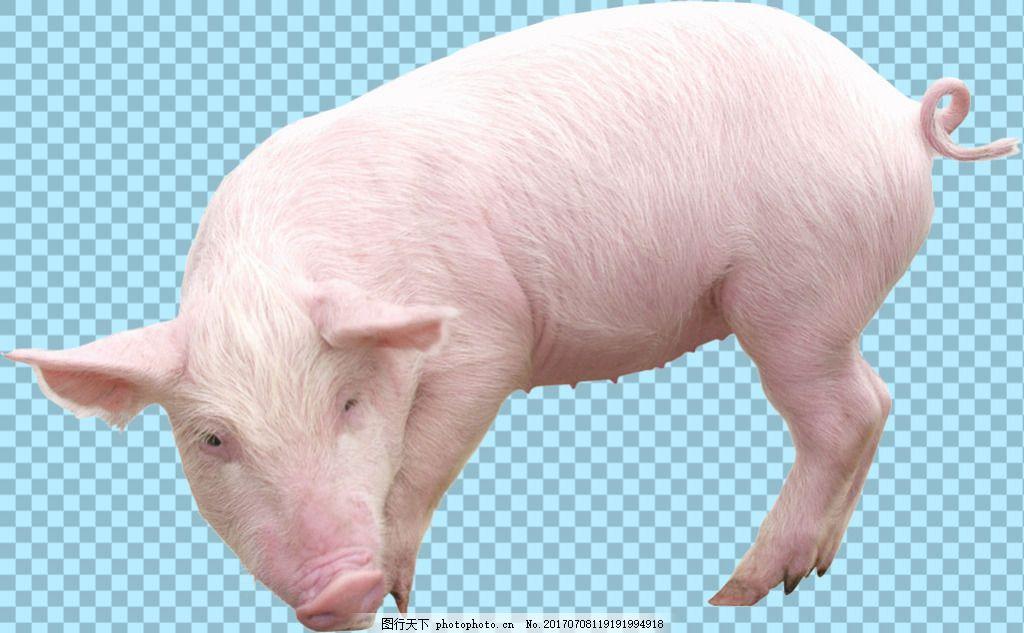 可爱小猪3d萌宠动态