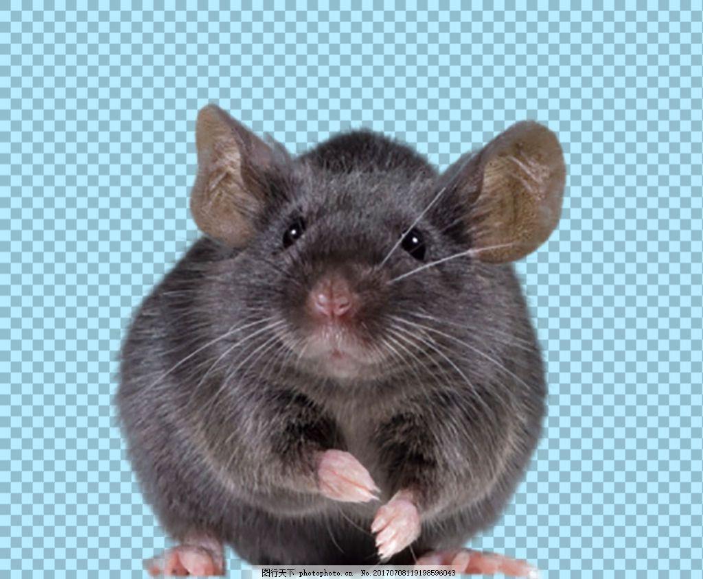 可爱老鼠 老鼠简笔画图片大全 老鼠简笔画 彩色老鼠图片 老鼠 田鼠